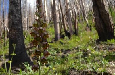 Rare Plant (Mogollon death camus) in Wildfire Area