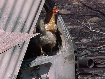Chicken After a Wildfire